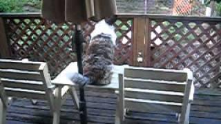 コーギーカーディガンという犬種は フサフサのしっぽがある 村のサイレ...
