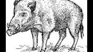 how to Draw Wild Boar Full Body drawing step by step