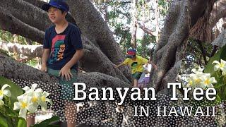 ハワイ・マウイ島・ラハイナにある樹齢120年以上、広さ2700㎡、高さ18mを超える米国内最大と言われるバニヤンツリー。木陰では週末にはフリーマーケットが開かれる ...