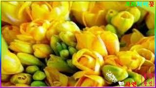 프리지어꽃 예쁜 꽃사랑~P;D