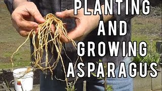 Planting and Growing Asparagus