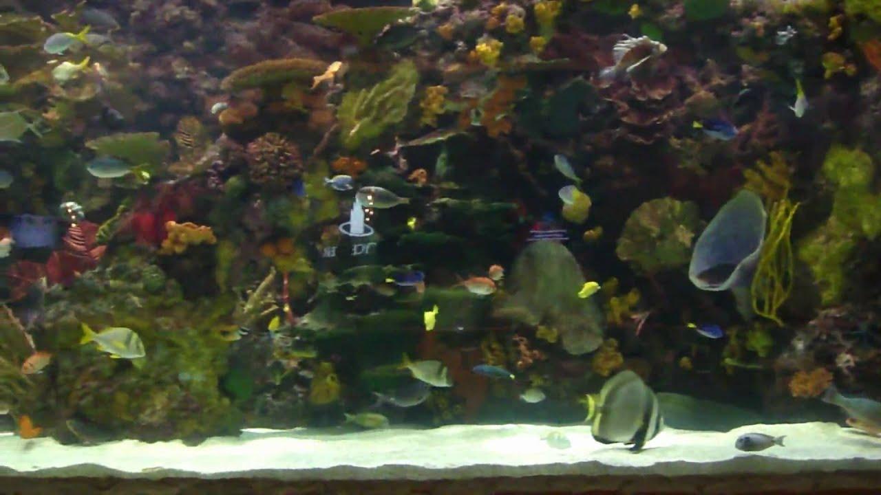 20 000 gallon aquarium at the mirage las vegas youtube for Fish tank las vegas