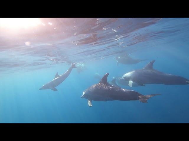 Grands dauphins de l'Indo-Pacifique (Tursiops aduncus) dans la baie de La Possession (La Réunion)