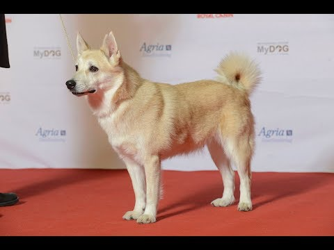 Norwegian Buhund  / Dogh Breed