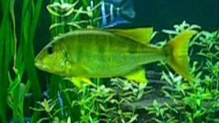 boulengerochromis microlepis 50 60 cm im 6000 l tank