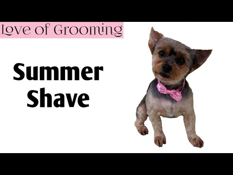 How to Shave a Yorkshire Terrier for Summer
