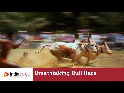 Breathtaking Bull Race at Kakkoor - Kerala Village Life Videos