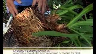 Garden Tips: Dividing Agapanthus (6.03.2014)