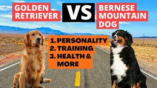 Which Dog Is Better For You? Golden Retriever Vs Bernese Mountain Dog | Daily Pets