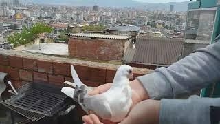 Güvercin Besleme Ve Tanıtma #3