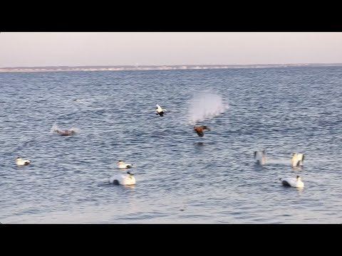 Drakes Migration Nation Season  Part 4-  Randy Drago Massachusetts Eider Seaduck Hunting