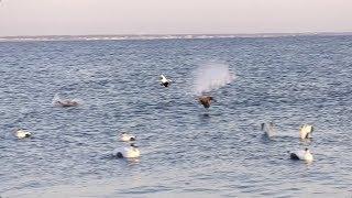 Baixar Drake's Migration Nation Season , Part 4- Randy Drago Massachusetts Eider Seaduck Hunting