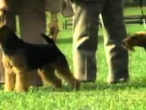 Welsh Terrier - Chapter 1