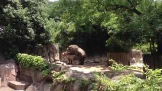 夏の動物園!サイの交尾!2 動物園で撮影に成功した、サイの交尾です。 ...