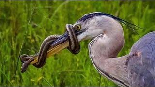 中国最凶猛的一种鸟类,专以吃毒蛇为生,冲上去就把蛇给吞了!