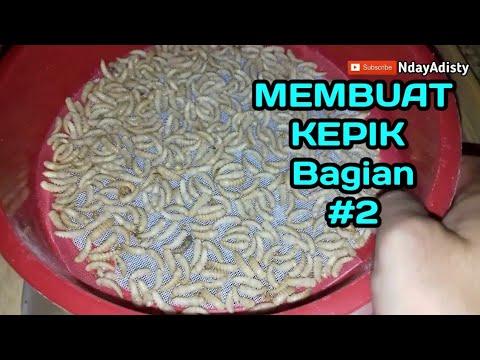Cara Membuat Kumbang Ulat Hongkong Kepik Ulat Hongkong Part 2 Mealworm Youtube