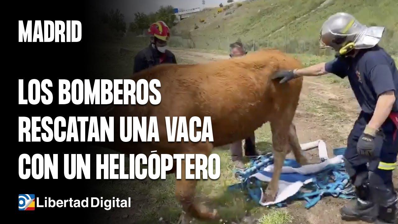 Bomberos rescatan vaca con helicóptero