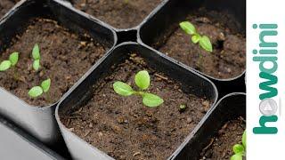 How to Plant Eggplant