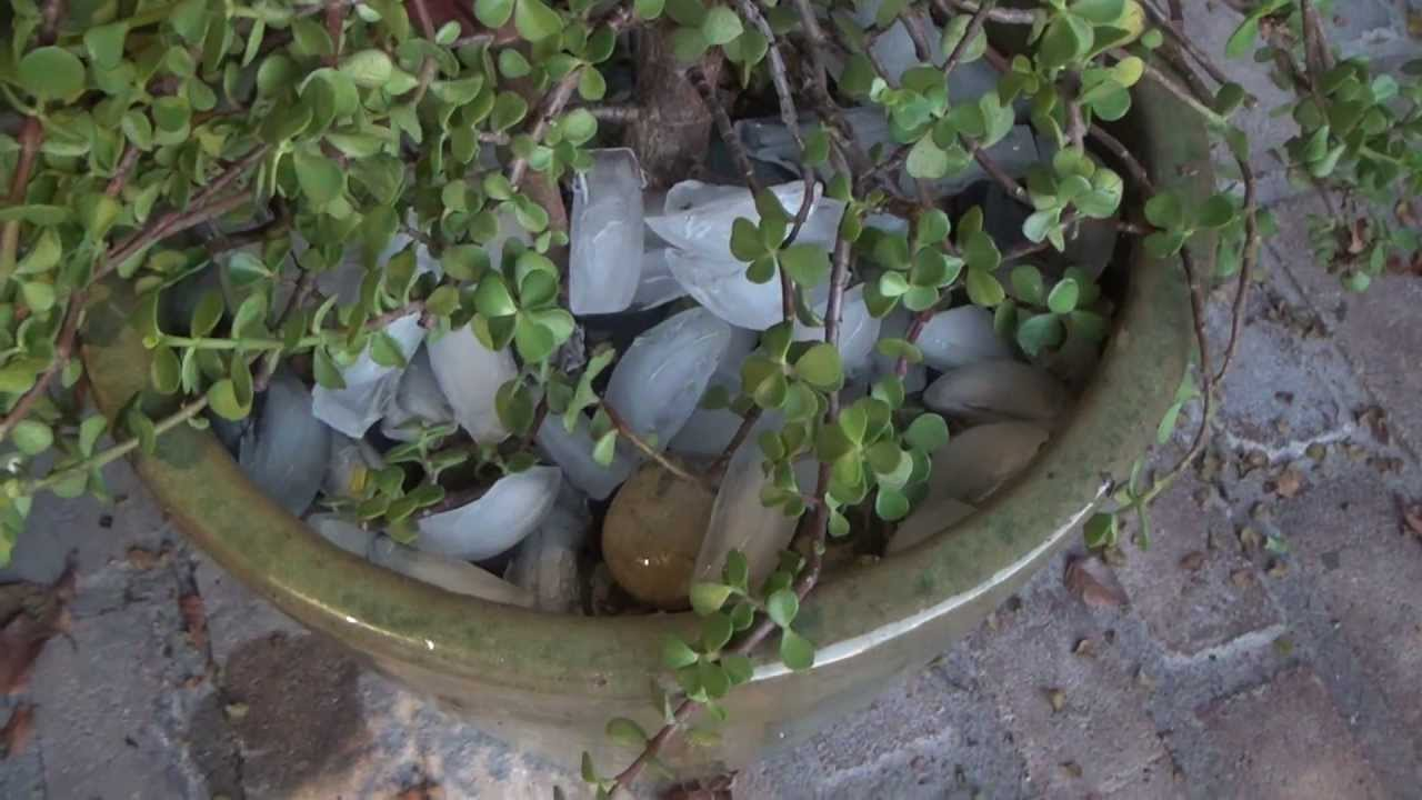 How to Water Jade Plant Japanese Money Tree Succulents ...