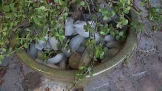 How to Water Jade Plant Japanese Money Tree Succulents With Ice Cubes to Conserve Water