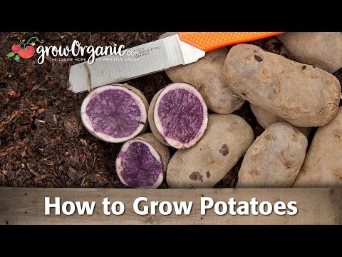 How to Grow Potatoes Organically