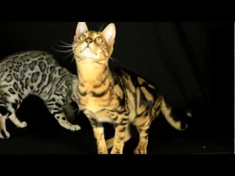 Introduction To Bengal Cats Part 2: Personality