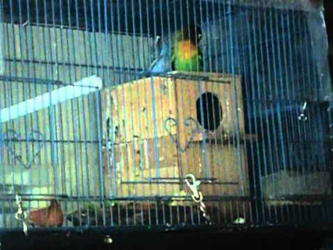 Indukan Love Bird Biru Pastel Ijo Standart Kepala Hitam lagi Kawin