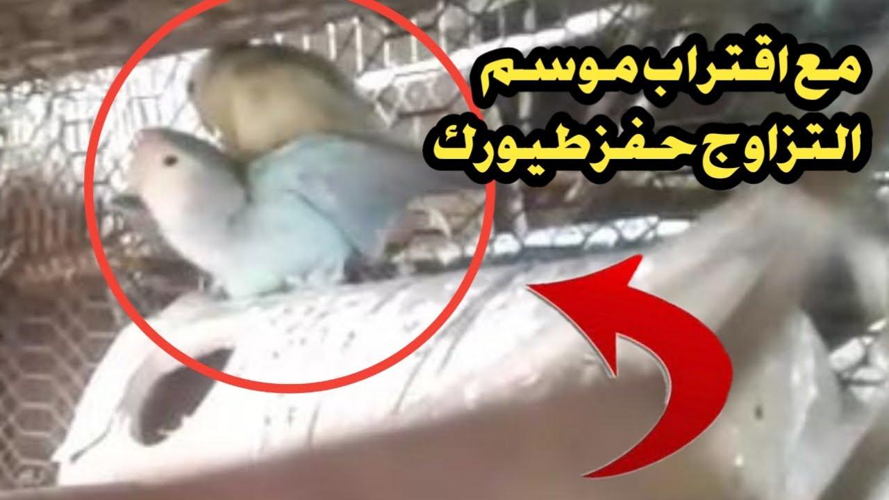 صوت تزاوج طيور الروز والفيشر لتحفيز طيورك على التزاوج Youtube