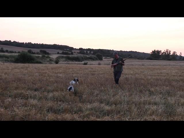 Cazando codornices en la Media Veda 2018 | Vídeos caza de codorniz