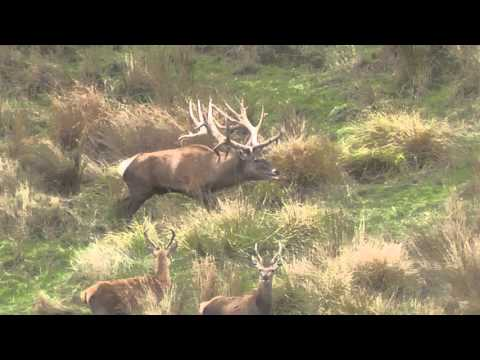 Monster New Zealand Elk (non-typical Spyder Bull) 532