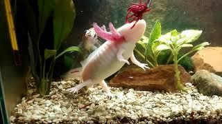 Аксолотль и рыбка Шубункин, нет друзей при кормешки