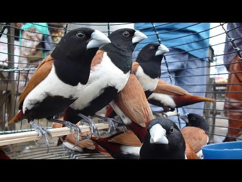 Amazing Small Finch Birds For Sale At Mirpur Bird Market Dhaka Bangladesh