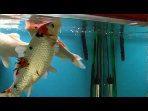 Koi fish play in fish tank doovi for Pet koi fish tank