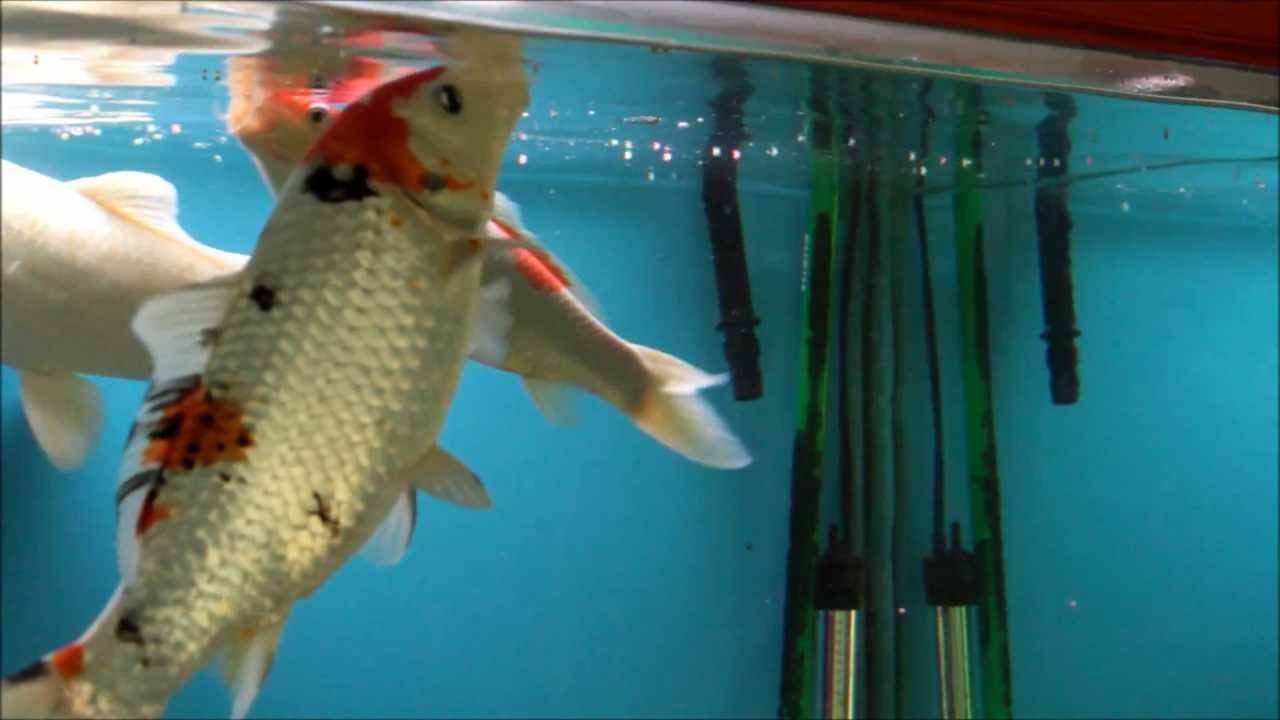 Hints on how to feed koi fish youtube for Coy fish tank