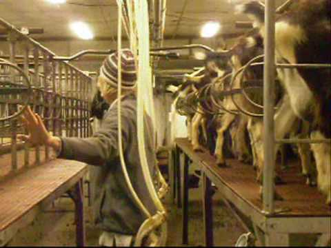 Dairy Goat Milking Parlor - YouTube