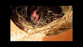 Вывод цыплят у наседки(Наступил 21 день. У наседки начали выводиться цыплята., 2015-12-25T12:42:54.000Z)