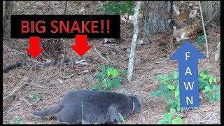 6 FOOT SNAKE GOES AFTER FAWN \u0026 FARM CAT INTERVENES!!! 06-10-18