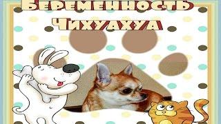 Беременная чихуахуа, поведение собаки.( 1 часть )