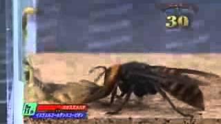 Arı ile akrep kavgası Böcek Dövüşleri aydın ilaçlama akrep arı ilaçlama aydın Video