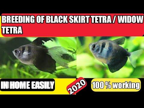 Breeding Of Black Skirt Tetra | Breeding Of Widow Tetra In Home .