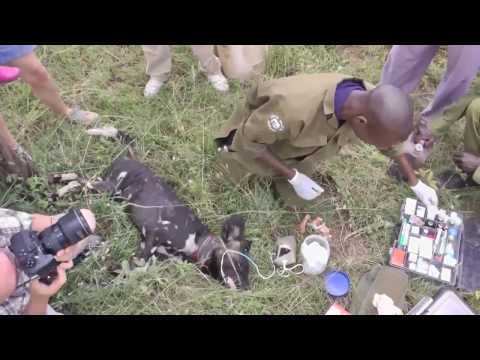 Treating an African Wild Dog