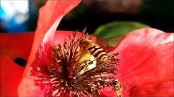 Hoverflies, kukkakärpäset