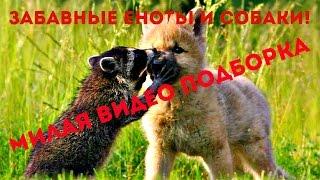 Забавные Еноты и Собаки! Милая Видео Подборка / Raccoon And Dog