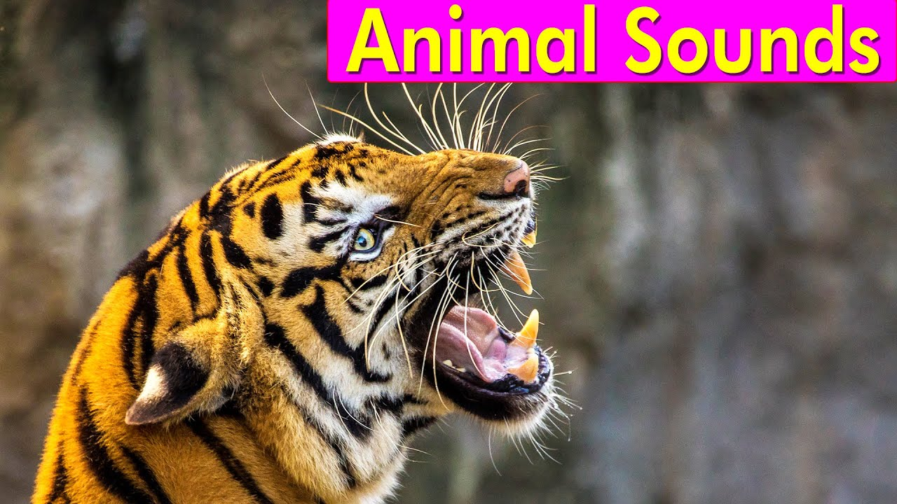 sounds animals wild animal learn