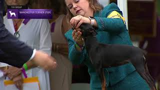 Manchester Terriers (Toy) | Breed Judging 2021