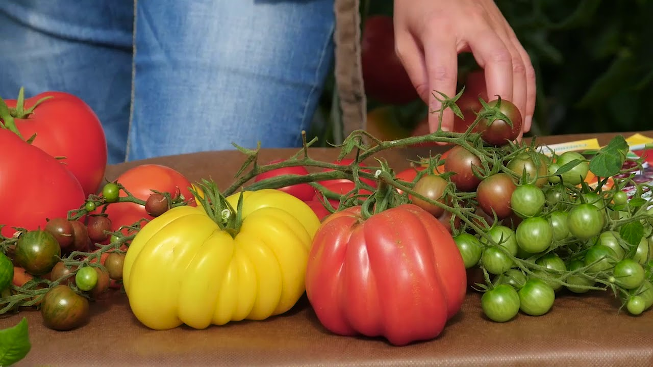 как закаливать семена помидор