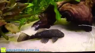 Анциструс - рыба чистильщик аквариума купить(Купить прямо сейчас рыбку для аквариума Анциструс на сайте http://aquazona.com.ua/cat/akvariumnai_riba/ribka/index.html по самым горяч..., 2014-02-03T07:03:51.000Z)