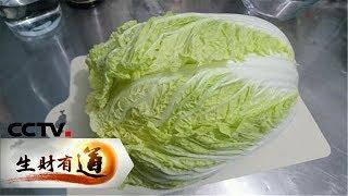 《生财有道》 山东胶州:致富靠双手 白菜变百财 20181225 | CCTV财经