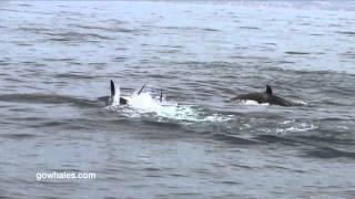 Killer Whales Hunt Dolphin 2.28.16 FULL