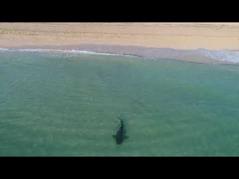 Drone Footage Captures Tiger Shark Roaming Close to Swimmers in Miami